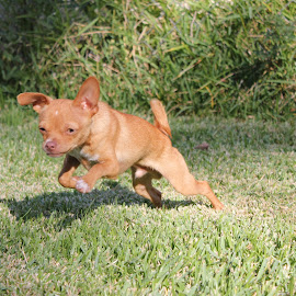 Chihuahua Puppy Running by Tammy Jones Perdue - Animals - Dogs Running ( play, puppy, chihuahua, running, jump,  )