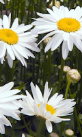 Screenshot of Chamomile Wallpapers