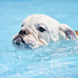 Little Swimmer by Tara Chumsae - Animals - Dogs Portraits ( animals, dogs, bulldogs, english bulldog. english bulldogs, cute, swimming, swimmer, bully, bulldog, puppies, pet, pets, adorable, puppy, dog, bullies, animal,  )