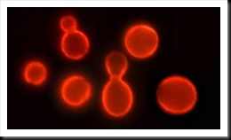 Brewer's yeast, known formally as Saccharomyces cerevisiae, illuminated using a special technique called immunofluorescence. Scientists have recently extended the lifespan of the microscopic organism by both tinkering with aging genes and cutting the amount of calories it takes in
