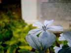 Blue Flower, Tarun Chandel Photoblog