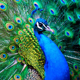 In All His Finery by Lena Arkell - Animals Birds ( blue, crown, green, jewelry, peacock,  )