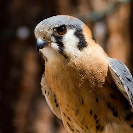 . by Krystle-lee Dodson - Animals Birds ( bird, orange, american kestrel, falcon, small,  )