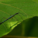 Unknown Phasmid