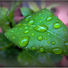 drops by Soon Xiao Wen - Nature Up Close Leaves & Grasses ( water drops, green leaves, outdoors, plants, garden,  )