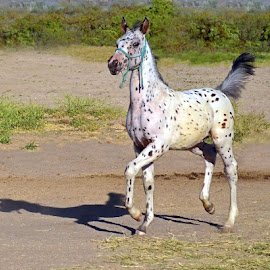See Spot Run! by Michelle Hunt - Animals Horses ( colts, horses )