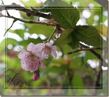 cherryblossoms-campos