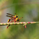 Yellow-Potter-Wasp
