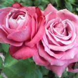 薔薇が好き