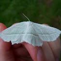 Pale Beauty