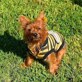 Queen Bee by Keith Thies - Animals - Dogs Portraits ( yorkie, yorkshire terrier, costume, dog, halloween )