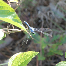Blue Dragonfly by James Mooney - Novices Only Wildlife