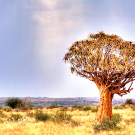 Quiver Tree by Andre Bez - Landscapes Prairies, Meadows & Fields ( field, dry, tree, south, namibia )