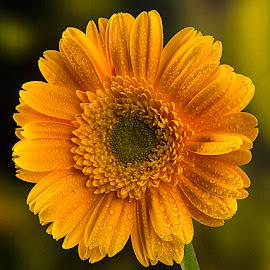 Yellow beauty by Rakesh Syal - Flowers Flower Gardens