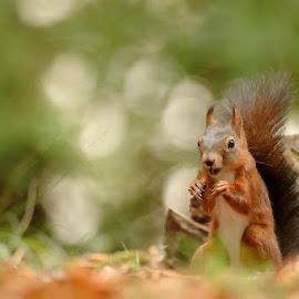 joy by Cédric Guere - Animals Other ( goblin, wild, red, nature, joy, wildlife, woods, squirrel, animal )