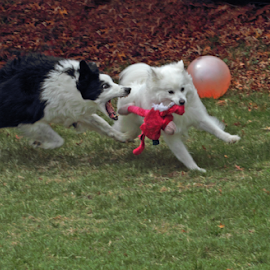 I Almost Have It! by Melanie Melograne - Animals - Dogs Playing ( border collie, american eskimo, pets playing, dogs playing, dogs running )