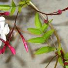 Rose bud Jasmine