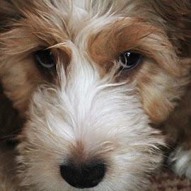 Alfie Cockerpoo by Nikki Wilson - Animals - Dogs Puppies ( canine, cockerpoo, puppy, cute, dog,  )