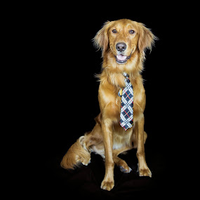 Birthday Suit by Caitlin Lisa - Animals - Dogs Portraits ( retriever, birthday, tie, suit, dog, golden, portrait, golden retriever )