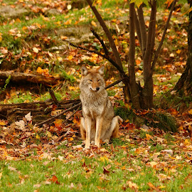 Coyote fall folliage by Christine Chambers - Animals Other ( canine, coyote, fall, omega park, wildlife )