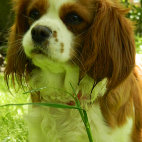 Green Ashley by Kelly Moore - Novices Only Pets ( cavalier, grass, green, dog, woods )