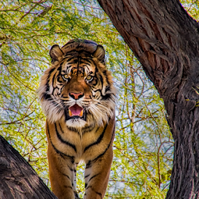 0245-Lunch?? by Fred Herring - Animals Lions, Tigers & Big Cats (  )