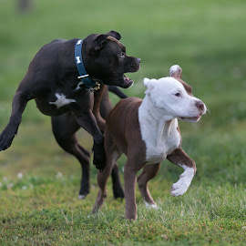 Gotya by Peter Marzano - Animals - Dogs Playing