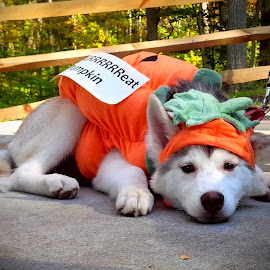 Puppy Pumpkin by Cecilia Sterling - Animals - Dogs Puppies ( siberian husky, pumpkin, costume, puppy, halloween,  )