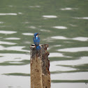 Blue Eared Kingfisher