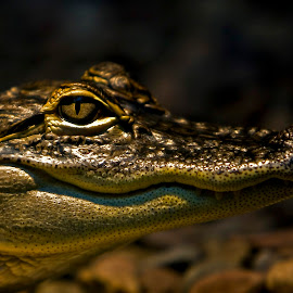 Untitled 30 by Nick Cordan - Animals Reptiles ( water, nature, creature, scales, crocodile, alligator, wildlife, reptile, eye )