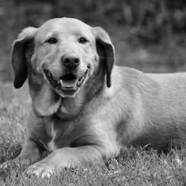 Janis by Anna Molly - Animals - Dogs Portraits ( canine, janis, black and white, basset hound, dog )
