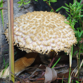 by Kris Pate - Nature Up Close Mushrooms & Fungi ( , mushroom, nature, natural )