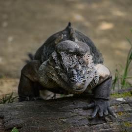 Rhinoceros Iguana by Deven Dadbhawala - Animals Reptiles