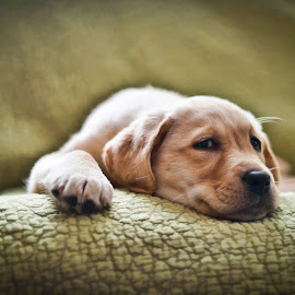Maggie Mae by Howie George - Animals - Dogs Puppies ( puppy, yellow, labrador, dog )
