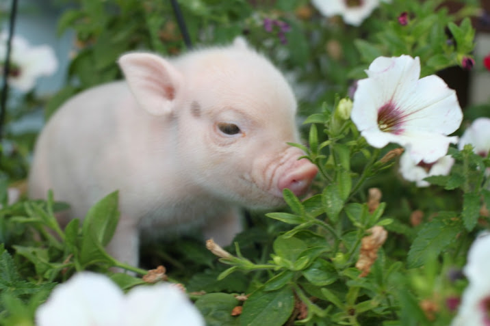Outlaw Mini Pigs Pig Facts