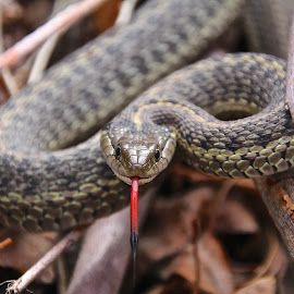 Forked Tongue  by Gus Forrest - Animals Reptiles ( snake, animals, nature, color, reptile )