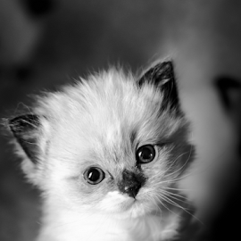 Ragdoll in black and white by Chris Froome - Animals - Cats Kittens ( ragdoll, cats, pets, fur, cute, felines, mammal, portrait, animal )