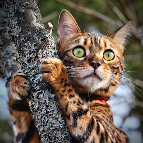 by Jane Bjerkli - Animals - Cats Portraits ( expression, playing, climbing, cat, bengal cat, pet, animal )