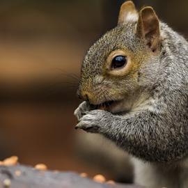 Squirrel portrait by Chris Froome - Animals Other Mammals ( nature, grey squirrel, fur, wildlife, cute, rodent, portrait, squirrel, mammal, animal )