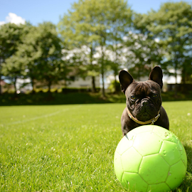 buddy thinks hes a footballer lol by Michael Sweeney - Animals - Dogs Playing ( dog french bull dog, nikon )