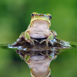 Hyla arborea by Filipe Caetano - Animals Amphibians ( mirror, water, reflection, frog, green, wildlife )