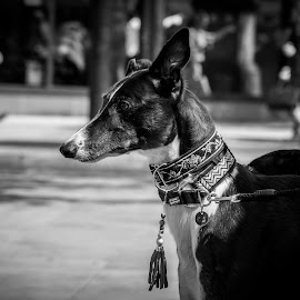 Retired greyhound by Gaz Haywood - Animals - Dogs Portraits