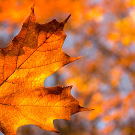 by Voicu Lupan - Nature Up Close Trees & Bushes ( canada, autumn, ontario, autumn colors, autumn leaf )
