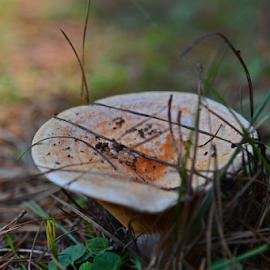 Rydz by Kamila Romanowska - Nature Up Close Mushrooms & Fungi ( mushroom, orange, fungi, nature, pine forest, australia, rydz, pine )