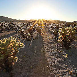 Cactus Sunset by Dean Mayo - Landscapes Deserts ( desert, sunset, joshua tree national park, garden, cholla, cactus )