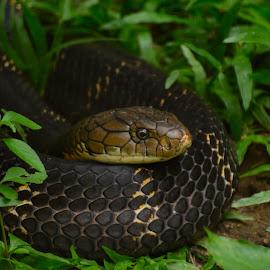 King Cobra by Bhaskar Trivedi - Animals Reptiles ( snake, poison, reptile, king, cobra )