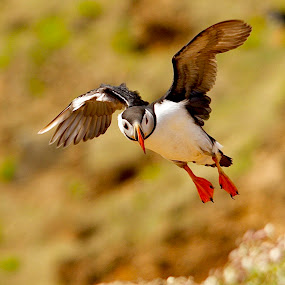 ARCTIC PUFFIN Skomer Island  by James Blyth Currie - Animals Birds ( flying, wales, skomer island, arctic puffin )