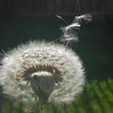 Dandelion Blow Flower