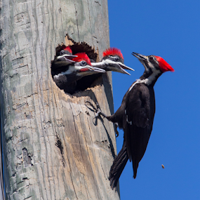 Pileated Woodpecker Triplets by Robert Strickland - Animals Birds ( bright, nice, passer, feather, birds, predator, time, tree, nature, fulvus, raptor, falconry, griffon, black, flower, isolated, wild, element, wing, singing, parent, prey, hawk, sitting, horizontal, outdoors, owl, endangered, branch, perching, small, graphic, tropical, retro, wildlife, cute, vultur, drawing, character, berry, predatory, bilberry, carrion, beautifully, gyps, vulture, vintage, wingspan, beautiful, plumage, up, sparrow, haliaeetus, bird, flight, hunter, pattern, pet, background, beak, falcon, cut, standing, garden, design, studio, cartoon, wise, illustration, wisdom, shot, robin, ornithology, owlet, wings, fruit, eagle, symbol, white, forest, winter, environment, sweet, fly, food, adorable, songbird, floral, scavenger, beauty, photography, flying, carnivore, condor, vector, animal, icon, avian, vertebrate, photo, blue, color, brown, house sparrow, , Spring, springtime )
