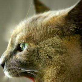 by David Hannah - Animals - Cats Portraits